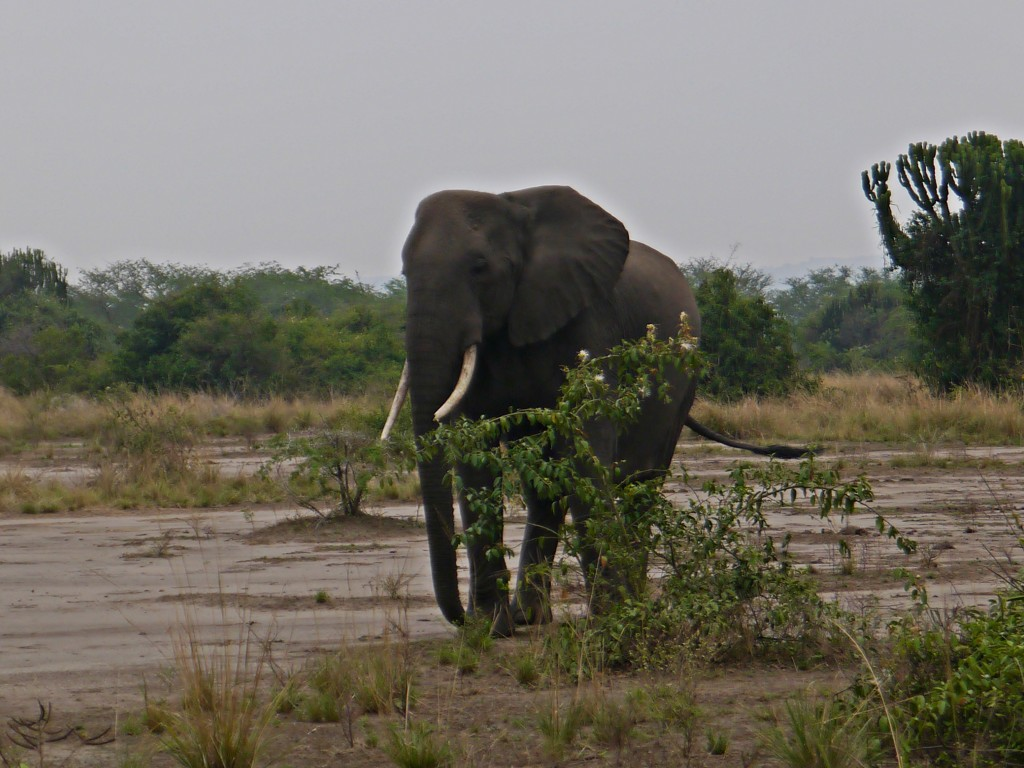 Elephant in Queen Elizabeth National Park, Uganda